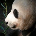 2x annyi embert vonz a panda